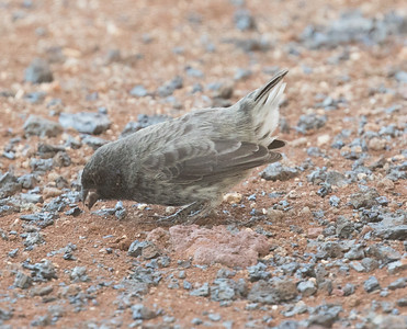 Small Ground-Finch Genovesa Island Galapagos Islands 2016 06 12-1.CR2