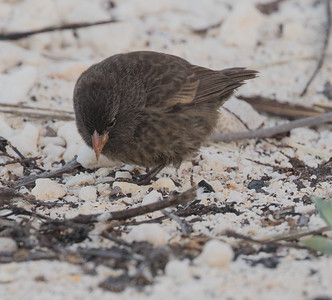 Sharp-beaked Ground Finch Bartolome Island  Galapagos Islands  2016 06 13 -1.-3.CR2
