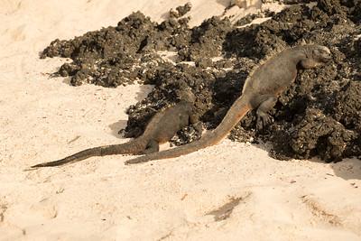Iguana  Galapagos Islands  2016 06 12 -1.CR2-1.CR2