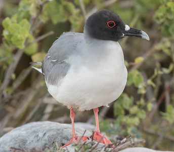 Swallow-tailed Gull Galapagos Islands  2016 06 13 -1.CR2-2.CR2