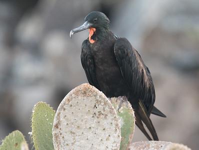 Magnificent Frigate Bird Galapagos Islands  2016 06 12 -1.CR2-3.CR2
