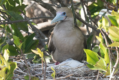 Red-footed Booby Bartolome Island Galapagos Islands 2016 13 -3.CR2
