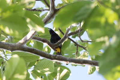 Cacique  Manglares Churute Ecological Cuckoo Reserve Ecuador 2016 06 11 -1.CR2-2.CR2