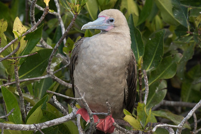 Red-footed Booby Bartolome Island Galapagos Islands 2016 13 -1.CR2