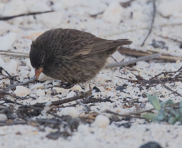 Sharp-beaked Ground Finch Bartolome Island  Galapagos Islands  2016 06 13 -1.-2.CR2