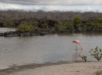 Greater Flamingo Galapagos Islands  2016 06 12 -1.CR2-1.CR2