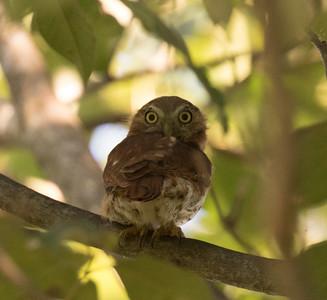 Pacific Pygmy Owl Manglares Churute Ecological Reserve Ecuador 2016 06 11 -1.CR2-1.CR2