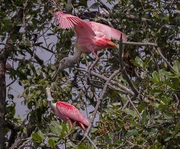 Roseate Spoonbill  Manglares Churute Ecological Reserve Ecuador 2016 06 11 -1.CR2-1.CR2