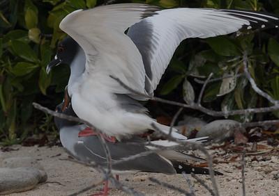 Swallow Tailed Gull Bartolome Island Galapagos Islands 2016 13 -1.CR2