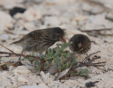 Large Cactus Finch and Sharp-beaked Ground Finch Bartolome Island Galapagos Islands  2016 06 13_.CR2-1.CR2