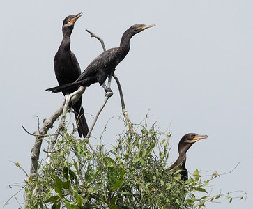 Neotropic Cormorant  Manglares Churute Ecological Reserve Ecuador 2016 06 11 -1.CR2-2.CR2