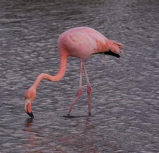 Greater Flamingo Galapagos Islands  2016 06 12 -1.CR2-3.CR2