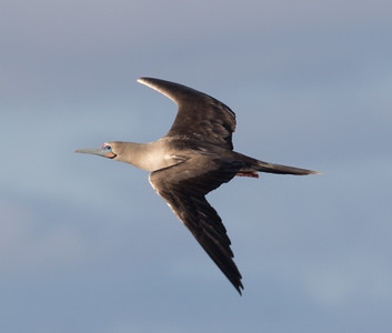 Red-footed Booby Bartolome Island Galapagos Islands  2016 06 12 -1.CR2-1-3.CR2-