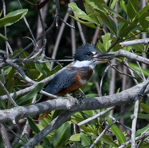 Ringed Kingfisher  Manglares Churute Ecological Reserve Ecuador 2016 06 11 -1.CR2