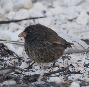 Sharp-beaked Ground Finch Bartolome Island  Galapagos Islands  2016 06 13 -1.-4.CR2