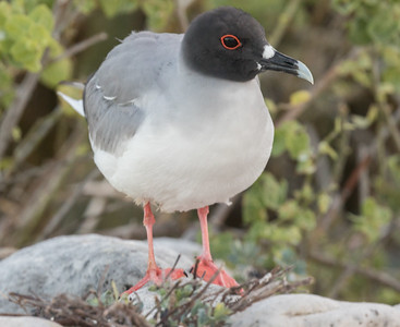 Swallow-tailed Gull Galapagos Islands  2016 06 13 -1.CR2-1.CR2