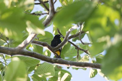 Cacique  Manglares Churute Ecological Cuckoo Reserve Ecuador 2016 06 11 -1.CR2-1.CR2