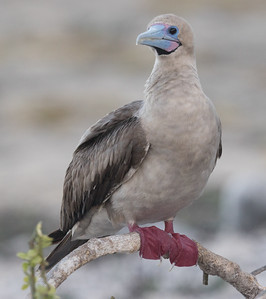 Red-footed Booby Bartolome Galapagos Islands  2016 06 12 -1.CR2-1.CR2