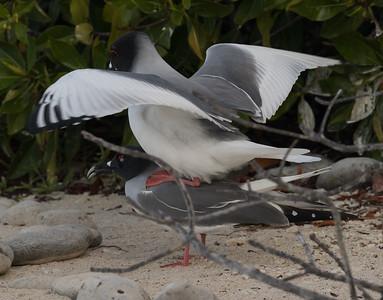 Swallow Tailed Gull Bartolome Island Galapagos Islands 2016 13 -2.CR2