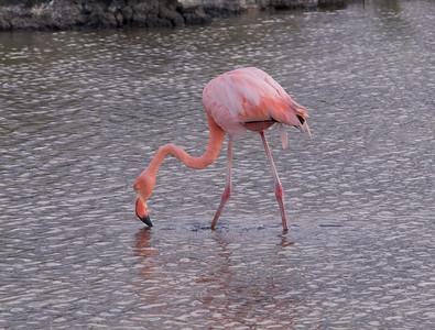 Greater Flamingo Galapagos Islands  2016 06 12 -1.CR2-2.CR2