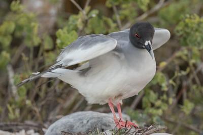 Lava Gull Galapagos Islands  2016 06 12 -1.CR2-2.CR2