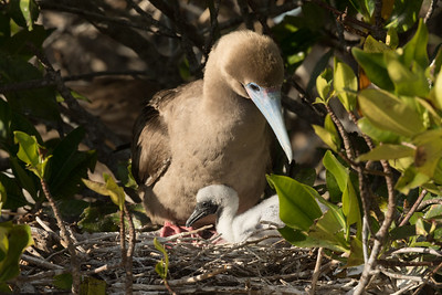 Red-footed Booby Bartolome Island Galapagos Islands 2016 13 -5.CR2