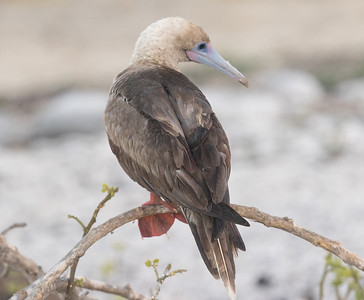 Red-footed Booby Galapagos Islands  2016 06 12 -1.CR2-1-2.CR2