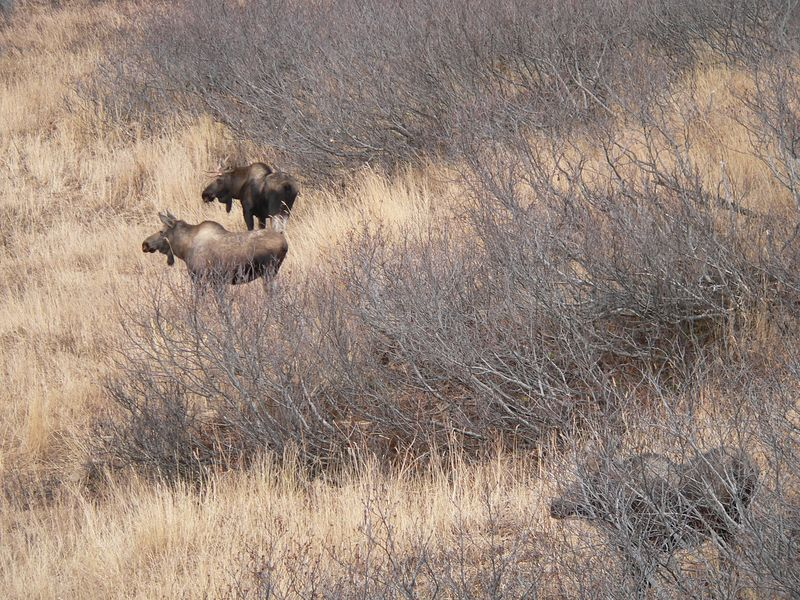 For the longest time I couldn't figure out why this family stalled and stared at a growth of pines beyond - I'd noticed a cow in that area earlier, but finally saw a large bull moose through the trees.