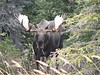 Bull moose with full rack