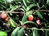 "nectarines on the tree.<br /> Enhanced with the filter ""dark strokes"""