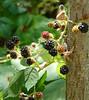 wild blackberries near the pond
