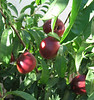 A Volunteer nectarine tree produced fruit for us this year.