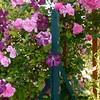 Rosa Rosen mit Clematis am Gartentor
