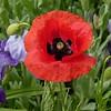 Mohnblüte vor Sibirischer Iris