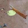 Zurückgelassene Feder des Gartenrotschwanzes auf dem Nistkasten