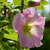 Stockrosenblüte im zarten Rosa