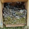 Nest vom Gartenrotschwanz im Nistkasten