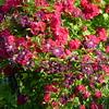 Reiche Rosenblüte mit Clematis beim Gartentor am 1.Juli