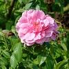 Rosenblüte im August