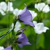 Zarte Glockenblumen, blau und weiß Mitte Juni