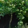 Der kleine alte Apfelbaum trägt noch!