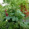Wilder Blütenzauber mit Roten Johannisbeeren am 1.Juli