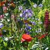 Bunter Wildwuchs im Juni mit Mohn, Glockenblumen und Lupinen am Gartenzaun