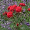 Rosen vor Lavendel Ende Juni