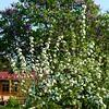 Apfelblüte vor Flieder
