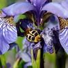 Gebänderter Pinselkäfer auf Sibirischer Iris an einem Junimorgen