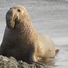 Bull elephant seal