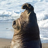 two elephant seal bulls facing off