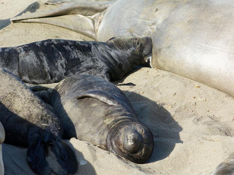 messy nursing elephant seal pup