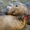 Elephant seal bull with one of his wives